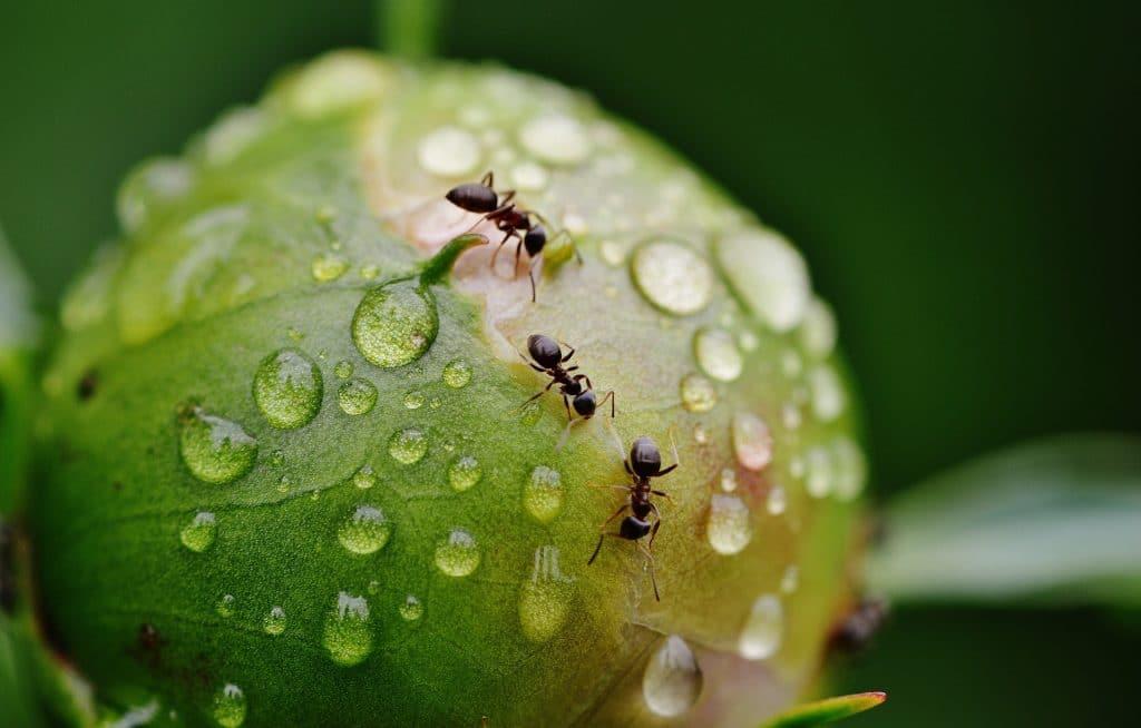 Recette répulsif à fourmis